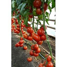 Зульфия F1 семена томата индетерминантного раннего Rijk Zwaan/Рийк Цваан