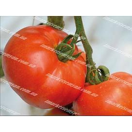 Берберана F1 семена томата индетерминантного 500 семян Enza Zaden/Энза Заден