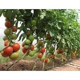 Ралли F1 семена томата индетерминантного Enza Zaden/Энза Заден