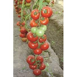 Буран F1 семена томата 500 семян Enza Zaden/Энза Заден