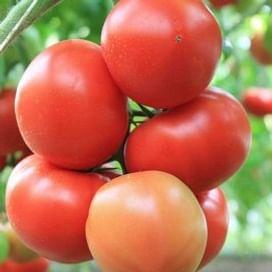 Байконур F1 (Е15B.50206) семена томата 500 семян Enza Zaden/Энза Заден
