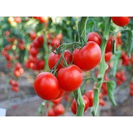 Аксиома F1 семена томата индетерминантного раннего Nunhems