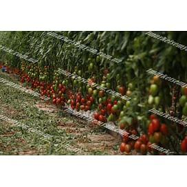 Эльза F1 семена томата индететерм. раннего Lark Seeds/Ларк Сидс