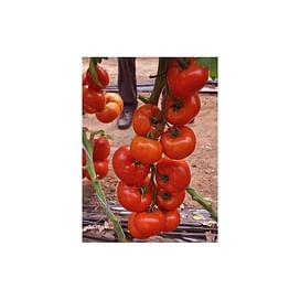НАДА F1 семена томата индетерминантного Esasem/Эзасем