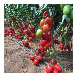 132-111 F1 (Колеос F1) семена томата индетерминантного Yuksel/Юксел