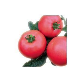 ВП 1 F1 (VP 1 F1) семена томата индет. розового Vilmorin/Вилморин