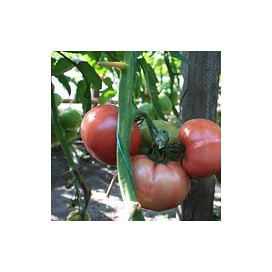 ТЕХ 2721 F1 семена томата раннего Taki Seed/Такии Сидс