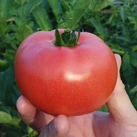 Розалба F1 (TL 12774 F1) семена томата индетерминантного розового Esasem/Эзасем