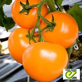 TI-169 F1 (Маматаро Голд) семена томата раннего Taki Seed/Такии Сидс