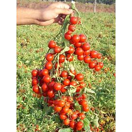 Стромболино F1 семена томата черри раннего United Genetics