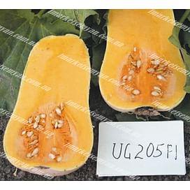 ЮГ 205 (UG 205) F1 семена тыквы мускатной поздней 1 000 семян United Genetics