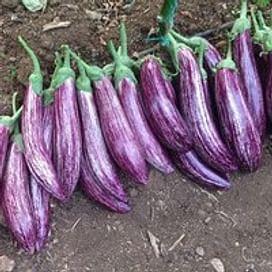 Зебрино F1 семена баклажана среднего Yuksel/Юксел