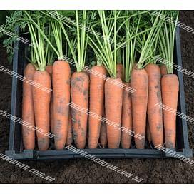 Берлин F1 (2,2-2,4мм) семена моркови Берликум средней Bejo/Бейо