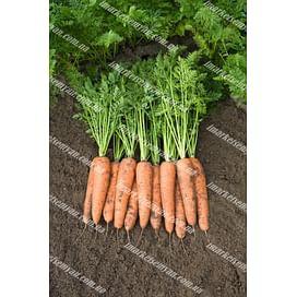 Белградо F1 (1,6-1,8 мм) семена моркови Берликум средней Bejo/Бейо