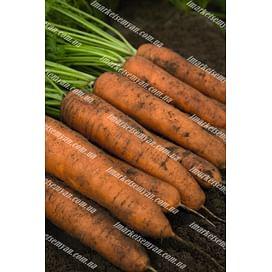 Белградо F1 (1,8-2,0мм) семена моркови Берликум средней Bejo/Бейо