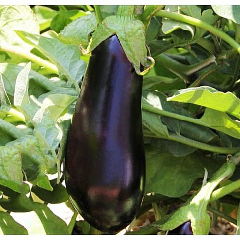 Антрацит F1 семена баклажана раннего Lucky Seed
