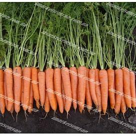 Волкано F1 семена моркови Нантес поздней 100 000 семян Vilmorin/Вилморин