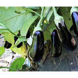 Марис F1 (LS 1322 F1) семена баклажана раннего Lucky Seed