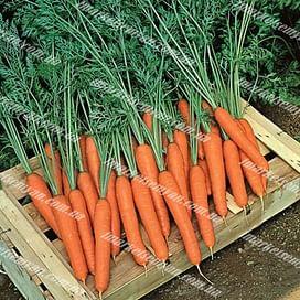 Престо F1 семена моркови Нантес ранней (16-18 мм) Vilmorin/Вилморин