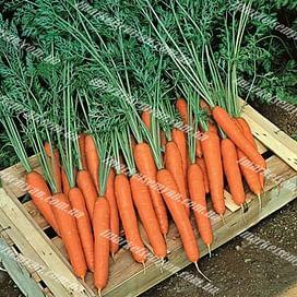 Престо F1 семена моркови Нантес ранней (более 20 мм) Vilmorin/Вилморин