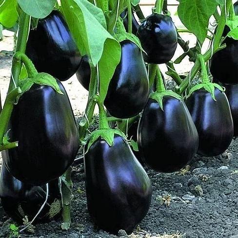 Перфекшен F1 семена баклажана 100 семян United Genetics
