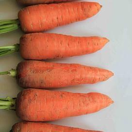 Танжерина F1 семена моркови (калибр. 1,6-2 мм) 100 000 семян Taki Seed/Такии Сидс