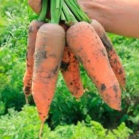 Проминенс F1 семена моркови 100 000 семян Taki Seed/Такии Сидс