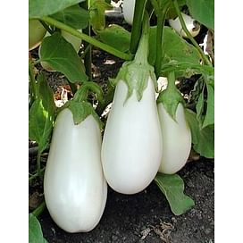 Бибо F1 (Bibo F1) семена баклажана ультраннего белого Seminis/Семинис