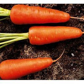 Ред Кор семена моркови Шантане 500 грамм Griffaton/Грифатон