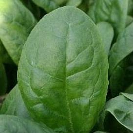 Тромбон F1 семена шпината раннего 50 000 семян Pop Vriend