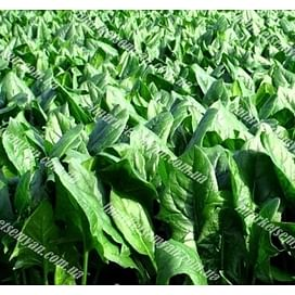Кинг семена шпината заостренного 10 грамм NongWoo Bio