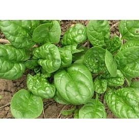 МАТАДОР семена шпината 5 кг Griffaton/Грифатон
