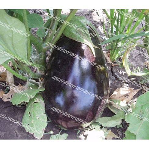 Чемодан F1 семена баклажана раннего Lark Seeds/Ларк Сидс