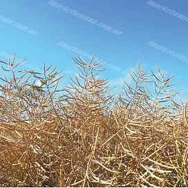ГКХ 2624 семена рапса озимого 1 мешок Химагромаркетинг