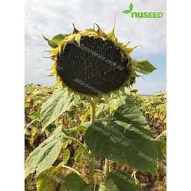 Камаро 2 (Круизер) семена подсолнечника масличного линолевого 1 мешок Nuseed