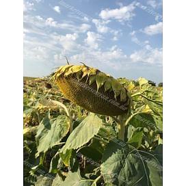 НXK12M010 (Круизер) семена подсолнечника масличного высокоолеинового 1 мешок Nuseed