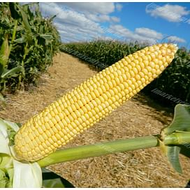 Максима семена кукурузы 1 мешок Химагромаркетинг