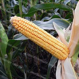 MV TC 277 семена кукурузы 1 мешок Химагромаркетинг