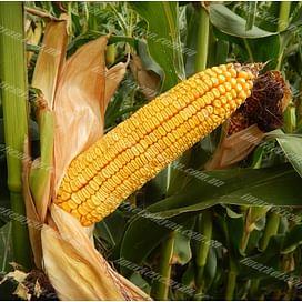 МВ 270 (MV 270) семена кукурузы 1 мешок Химагромаркетинг