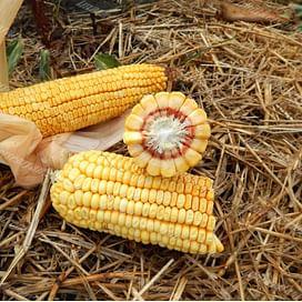 МВ 214 (MV 214) семена кукурузы 1 мешок Химагромаркетинг