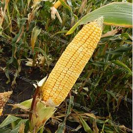 МВ 204 (MV 204) семена кукурузы 1 мешок Химагромаркетинг