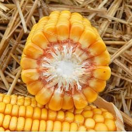 ГКТ 250 семена кукурузы 1 мешок Химагромаркетинг