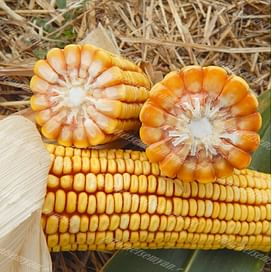 ГКТ 211 семена кукурузы 1 мешок Химагромаркетинг
