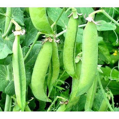 Скинадо семена гороха овощного среднепозднего 100 000 семян Syngenta/Сингента