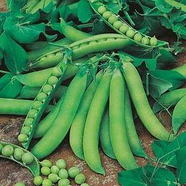 Муцио семена гороха овощного среднепозднего 100 000 семян Syngenta/Сингента