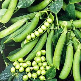 Преладо семена гороха овощного ультрараннего 100 000 семян Syngenta/Сингента