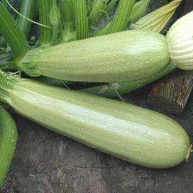 Каризма F1 семена кабачка раннего светло-зеленого Syngenta/Сингента