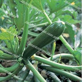 Кора F1 семена цуккини раннего 500 семян Clause/Клоз