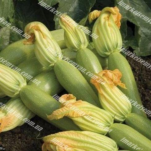 Эзра F1 семена кабачка раннего светло-зеленого 500 грамм Hazera