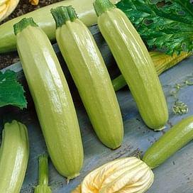 Ангелина F1 семена кабачка раннеспелого светло-зеленого Syngenta/Сингента